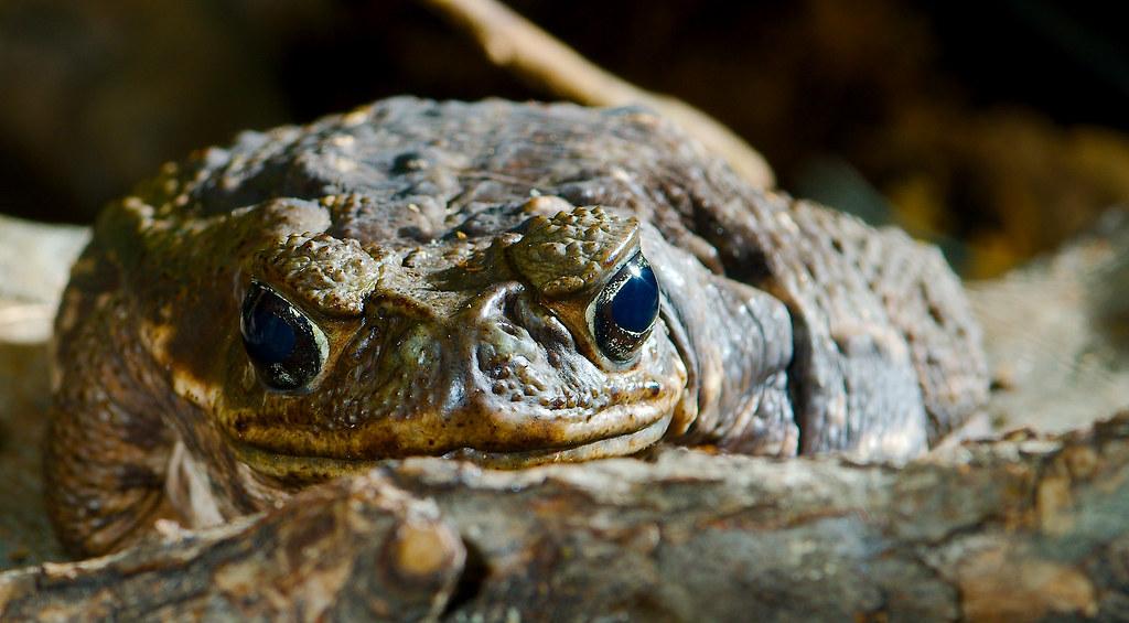 Cane Toad (Rhinella marina)_2