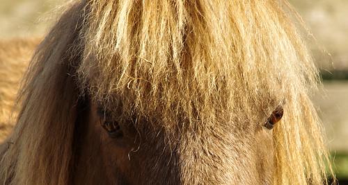 Yeux-de-poney