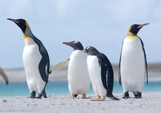 'Falkland Islands' by  FITB, King  & Gentoo Penguins