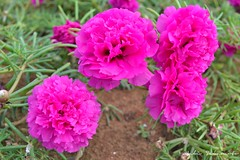 carnation, annual plant, flower, plant, flora, peony, dianthus, pink, petal,