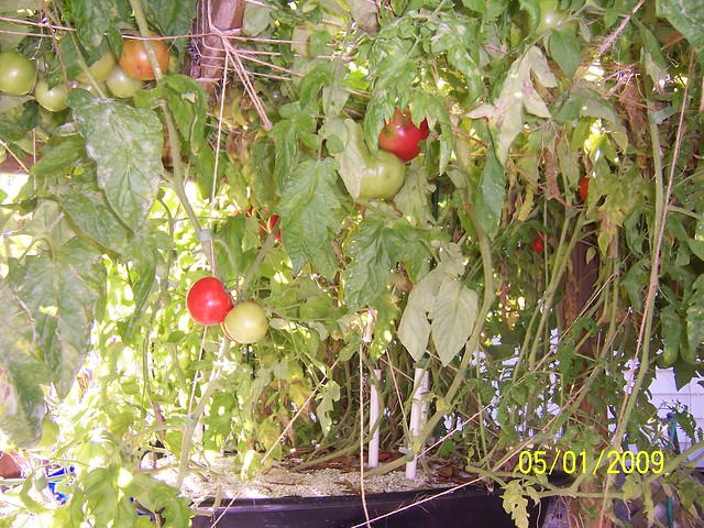 Growing Tomatoes In A 18 Inch By 24 Inch Square Foot Hydroponic System Flickr Photo Sharing