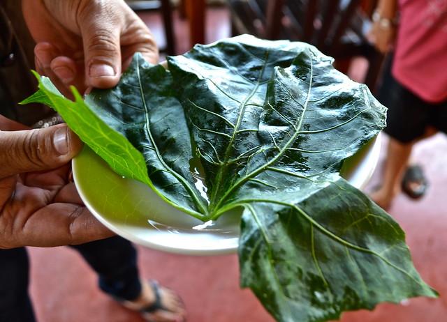 Chaya - Maya Super food, Maya Spinach