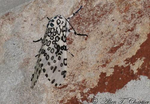 Hypercompe scribonia (Giant Leopard Moth)