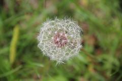 Dandelions 10