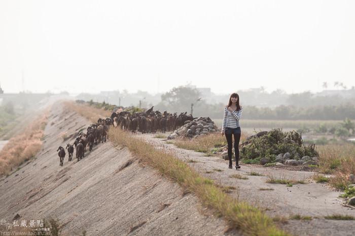 台南私藏景點--學甲寮平和里 X 蜀葵、小麥、羊群、老厝群 (14)