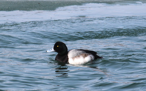 Greater scaup, male by ricmcarthur