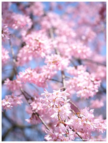 Weeping cherry tree #01