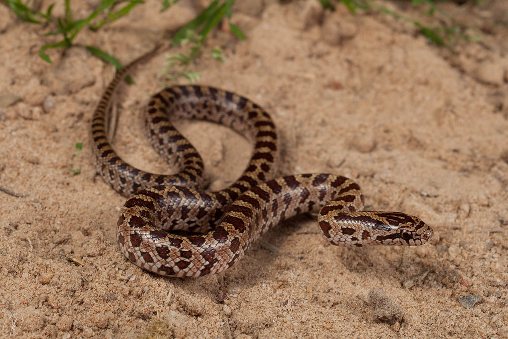 Lampropeltis calligaster | The Reptile Database