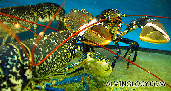 Live Scottish blue lobsters