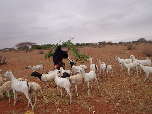 Muungano Makaror farming group in Wajir East feeding their Goats with fodder harvested from their farm