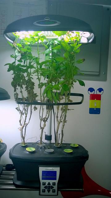 Aero Garden Basil_3