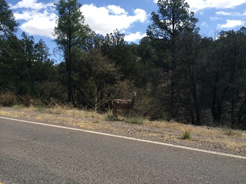 Deer on the highway. AZ-78