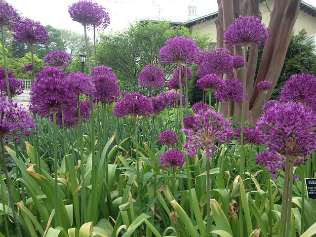 Allium hollandicum 'Purple Sensation' in the Perennial Border. Photo by Sarah Schmidt.