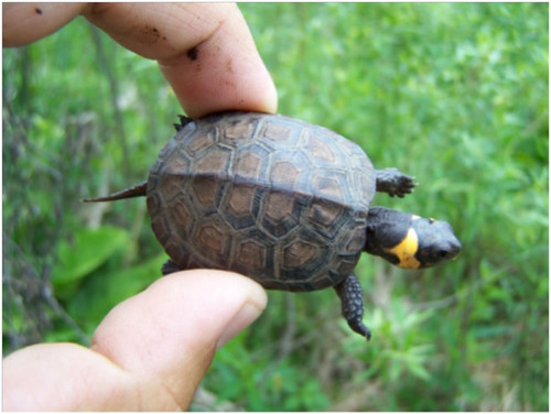 Bog turtles serve as a good indicator of clean water and healthy wetlands. NRCS photo.
