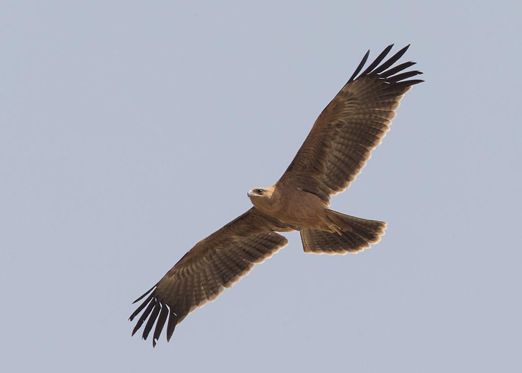 Tawny Eagle Gambia