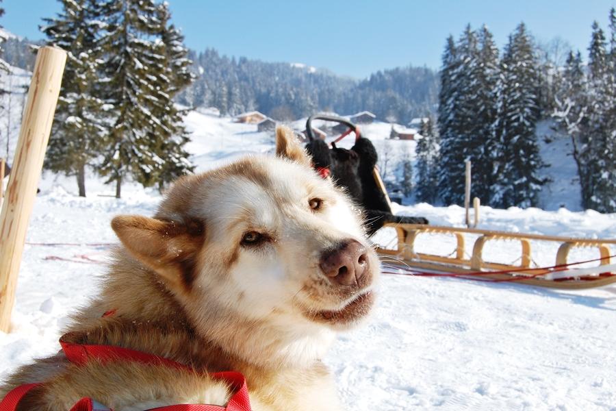 Balade chiens de traineau chiens de traineau (19)
