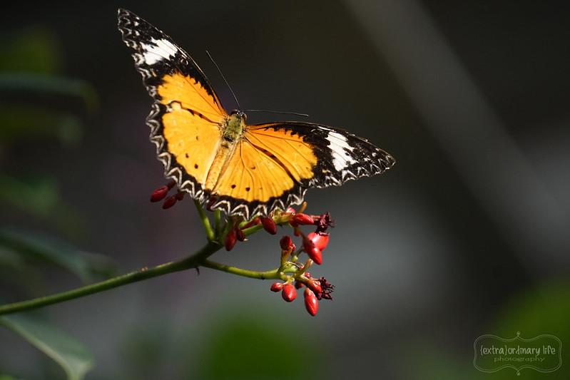 butterflies-3-wm