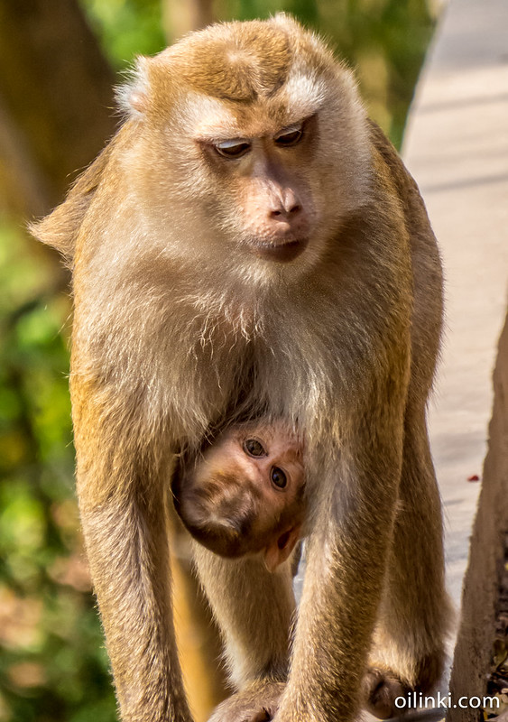 Monkey baby at Khao Rang viewpoint