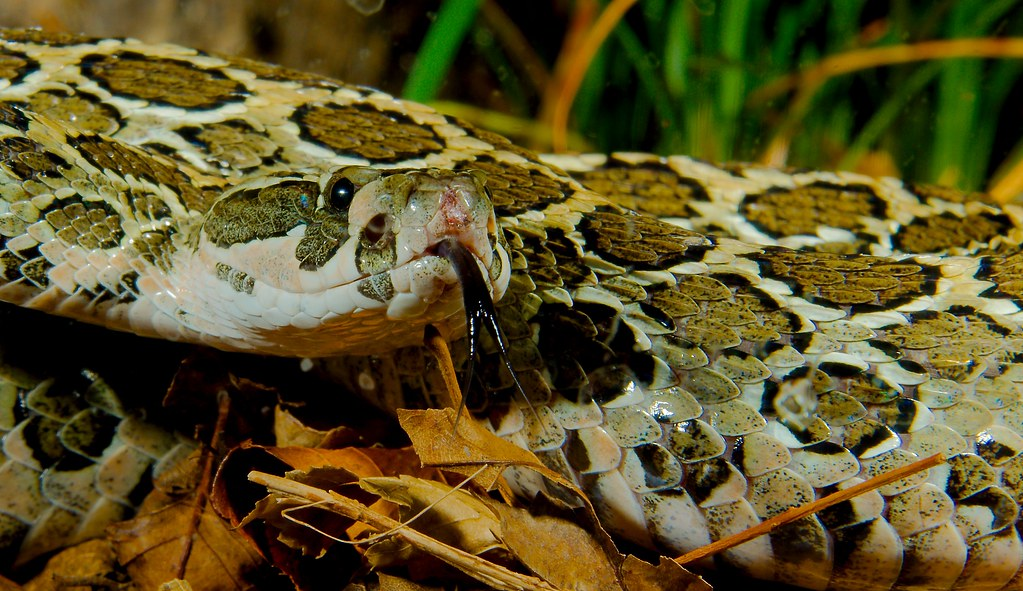 Mexican Lance-headed Rattlesnake (Crotalus polystictus)_2