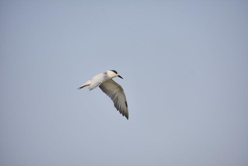 白翅黑燕鷗