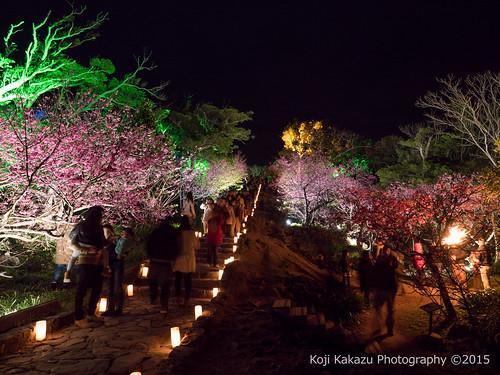 今帰仁グスク桜まつり | Okinawa #02