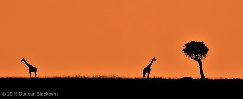 nature mammal nikon kenya wildlife ngc giraffe masaimara greatriftvalley