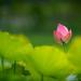 Lotus  .  荷 . 955