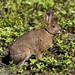 Rabbit, Gander Cross-country Ski Trail