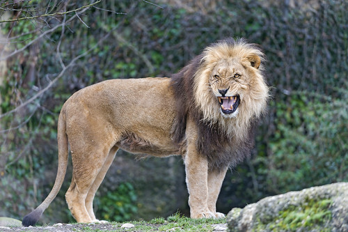 The male lion looking a bit angry by Tambako the Jaguar