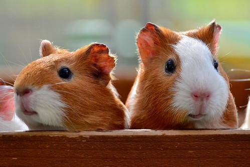 野毛山動物園のモルモット (Guinea-Pigs Nogeyama Zoo) by Dakiny