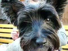 pumi(0.0), dog breed(1.0), animal(1.0), berger picard(1.0), dog(1.0), schnoodle(1.0), pet(1.0), australian silky terrier(1.0), glen of imaal terrier(1.0), mammal(1.0), standard schnauzer(1.0), vulnerable native breeds(1.0), norwich terrier(1.0), cesky terrier(1.0), cairn terrier(1.0), australian terrier(1.0), miniature schnauzer(1.0), scottish terrier(1.0), terrier(1.0),