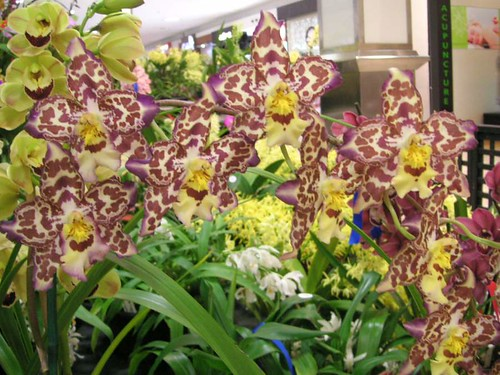 Onc. Tiger Hambuhren x Coit Tower. Champion Any Other Orchid - Ashfield Mall Winter Show 2013