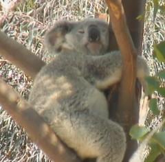 koala 2013-08-23 at 2.26.23 PM