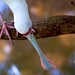 Small photo of African Spoonbill Looking for Food