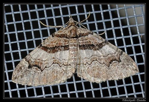 Phalène de l'Epine-vinette (Pareulype berberata)