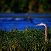 Great Blue Heron hunting a grassy edge