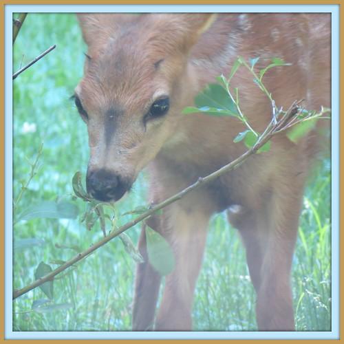 CC deer1