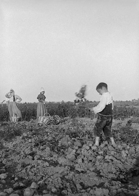 La récolte des pommes de terre, 1899
