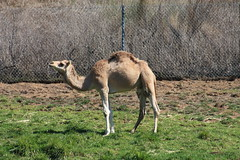 animal, prairie, zoo, nature, fauna, arabian camel, camel-like mammal, savanna,