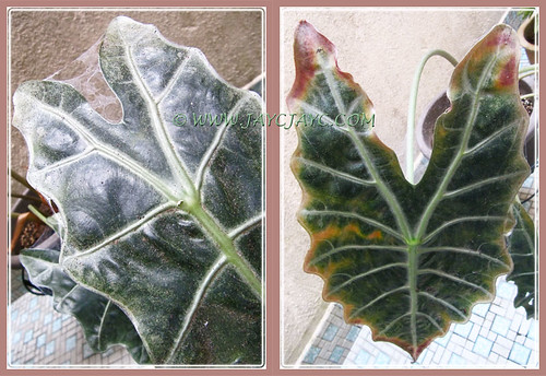 Our Alocasia sanderiana (Kris Plant), infested with Red Spider Mites, 18 August 2013