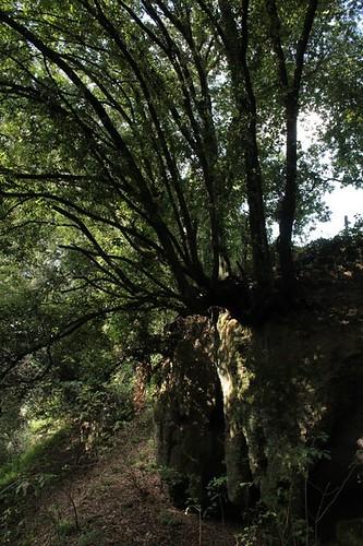 un albero tutt'uno col tufo