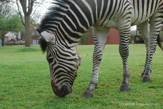 free roaming zebras