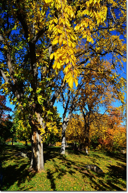 Elm(榆樹) in Fall, Chautauqua, Boulder 3