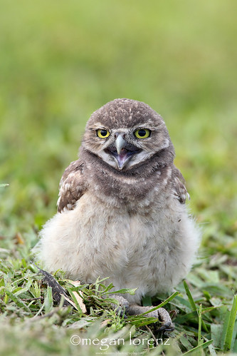 Owlet by Megan Lorenz