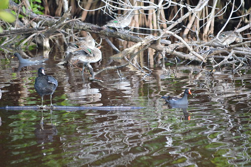 Moorhens and Green Winged Teal