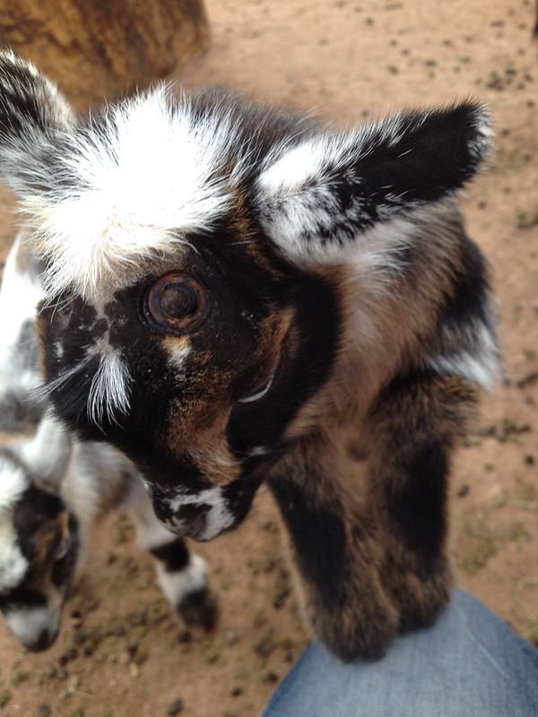 Disbudding Nigerian Goats
