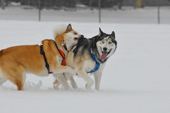 vehicle(0.0), dog sled(0.0), animal(1.0), west siberian laika(1.0), dog(1.0), czechoslovakian wolfdog(1.0), winter(1.0), snow(1.0), pet(1.0), mammal(1.0), east siberian laika(1.0), greenland dog(1.0), wolfdog(1.0), saarloos wolfdog(1.0), sled dog racing(1.0),