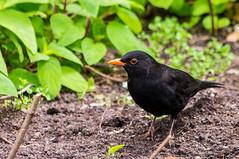 robin(0.0), cinclidae(0.0), acridotheres(0.0), animal(1.0), fauna(1.0), emberizidae(1.0), beak(1.0), blackbird(1.0), bird(1.0), wildlife(1.0),