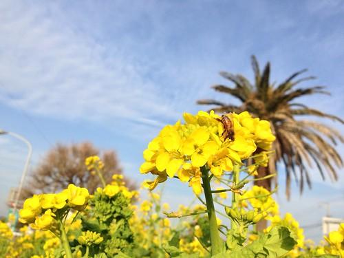 館山市の菜の花