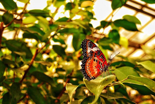 Red Lacewing Butterfly II
